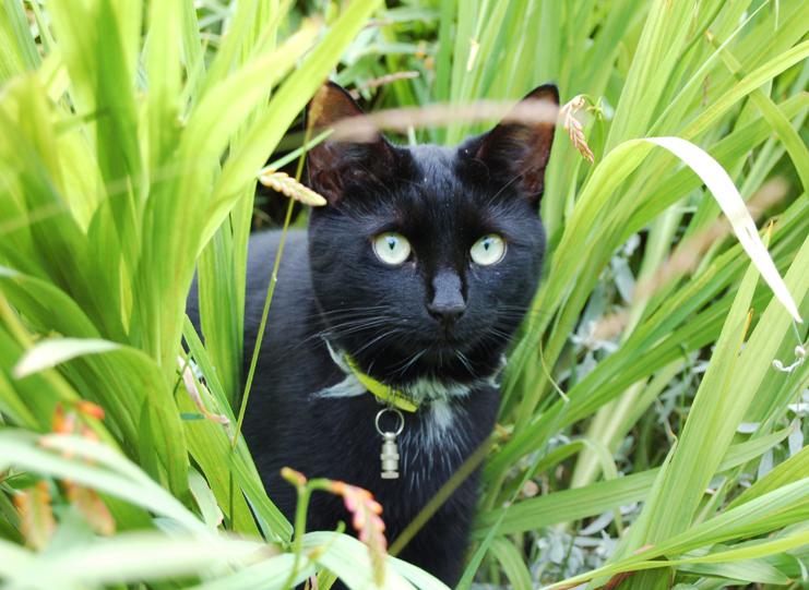 un semplice normalissimo, un qualsiasi gatto nero.....NO! RUDY COME NON DETTO, SIETE DEI FANTASTICI GATTI NERI!!!! dans gatti Charcoal%20prowling%20in%20grass